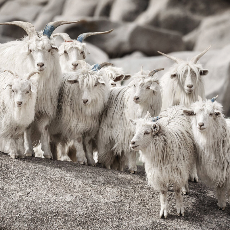 Loro Piana pursues ethical responsibility by supporting their goat herder's efforts, production processes and skills.